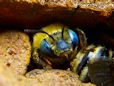 mining digger bee picture