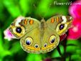 Buckeye butterfly picture