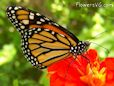 Monarch butterfly picture