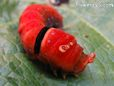 red caterpillar pictures