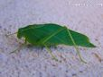 leaf Insect pictures