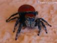 red and black jumping spider pictures