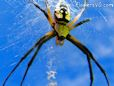 garden orb spiders wallpaper pics