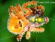 orange horned orb spider wallpaper pics