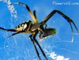 black and yellow garden orb wevear  spider pictures