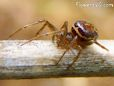 brown widow spider picture
