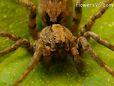 wolf spider pictures