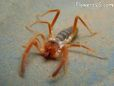 Camel Spider pictures
