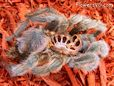 moulted Pink toe tarantula pictures