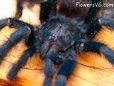 dark green Pink toe tarantula pictures