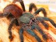 Green Pink toe tarantula pictures