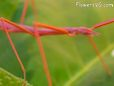 red walkingstick pictures