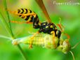 wasp eating grasshopper pictures
