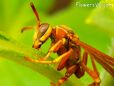 wasp maroon yellow pictures
