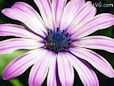 purple african daisy pictures