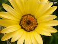 white yellow african daisy pictures