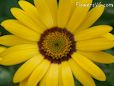 yellow african daisy pictures