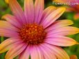 african daisy flower picture