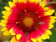 bright red blanketflower pictures