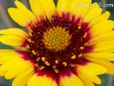 yellow red blanketflower pictures