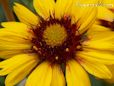 yellow blanketflower pictures