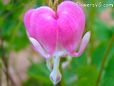 pink bleeding heart flower pictures