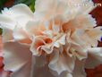 light peach carnation flower picture