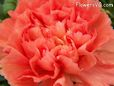 orange carnations flower picture