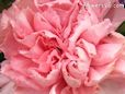peach white carnation flower picture