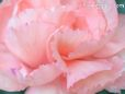 peach carnation flower picture