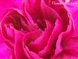 dark pink carnation flower picture