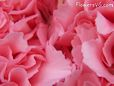 light pink carnation flower picture