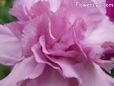 pink white carnation flower picture