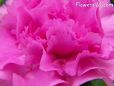 pink carnation flower picture