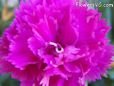 light purple carnation flower picture