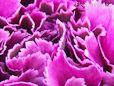 purple carnation flower picture