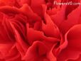 red carnation flower picture