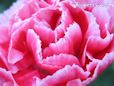 red white pink carnation flower picture