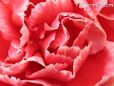 red white carnation flower picture