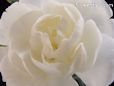 white carnation flower picture