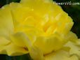 yellow carnation flower picture