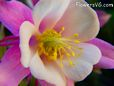 pink white columbine pictures
