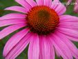 coneflower daisy flower picture