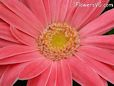pink gerbera daisy pictures