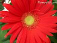 red gerbera daisy pictures