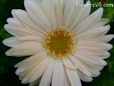 white gerbera daisy pictures