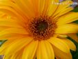 yellow gerbera daisy pictures