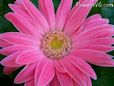 gerbera daisy flower picture