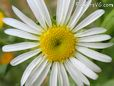 thin white daisy flower picture