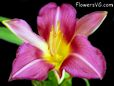 purple lily flower picture